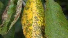 Коккомикоз вишни – опасное заболевание