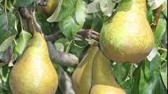Колоновидная груша: сорта и уход за саженцами