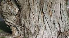 Кора ивы: полезные свойства и противопоказания