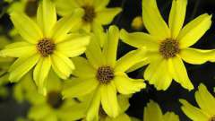 Кореопсис многолетний - украшение сада