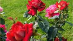 Королева сада роза кроненбург