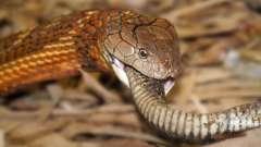 Королевская кобра в дикой природе