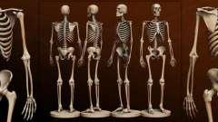 Кость человека. Анатомия: кости человека. Скелет человека с названием костей