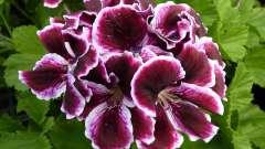 Красивые цветы: герань в домашних условиях
