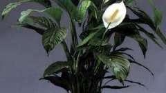 """Красивые комнатные цветы """"женское счастье"""""""