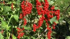 Красная смородина сахарная и ее выращивание