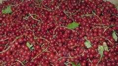 Красная смородина. Сорта уральской селекции
