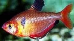 Красная тетра или минор-рыбка: особенности содержания в аквариуме
