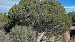 Крымский можжевельник: полезные свойства, виды и интересные факты