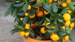 Кумкват: выращивание в домашних условиях