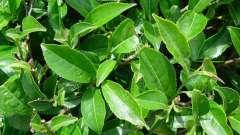 Куст чайный: описание, особенности, сорта, выращивание и рекомендации