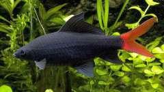 Лабео биколор: описание, фото, совместимость с другими рыбами