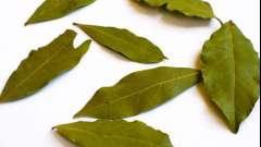 Лавровый лист. Польза и вред растительного продукта