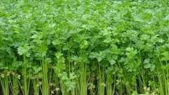 Лечебная кулинария: полезные свойства стебля сельдерея