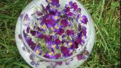 Лечебные свойства цветков сирени: применение в медицине и противопоказания.