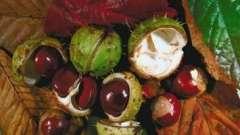 Лечебные свойства каштана конского, применяемые в медицине