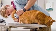 Лечение лишая у кошки. Опасная кожная болезнь