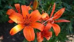 Лилии: когда сажать прекрасные цветы