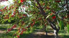 Листья вишни: полезные свойства и противопоказания, применение в народной медицине, рецепты