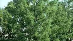 Лиственница - это лиственное или хвойное дерево? Особенности и распространение растения