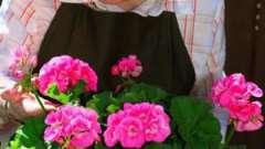 Любимица подоконников: королевская пеларгония, уход в домашних условиях