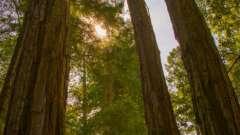 Максимальная высота секвойи вечнозеленой. Дерево - великан