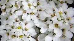 Многолетний и неповторимый иберис: выращивание из семян