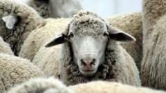 Молоко овечье: полезные свойства и калорийность. Продукты из овечьего молока