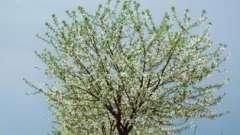 Можно ли опрыскивать деревья во время цветения или лучше этого не делать?