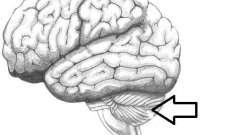 Мозжечок головного мозга. Строение и функции мозжечка