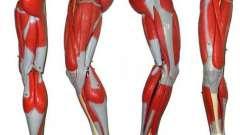 Мышцы ног человека: строение. Анатомия человека: мышцы ног