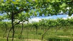 На каком расстоянии сажать виноград: рекомендации и советы