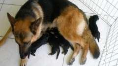 Немецкая овчарка: уход за щенками и забота о них