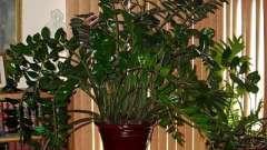 Неужели долларовое дерево (замиокулькас) – цветок безбрачия?