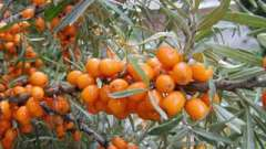 Облепиха. Полезные свойства и противопоказания чудо-растения