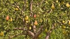 Обрезка груши осенью как способ повышения урожайности дерева