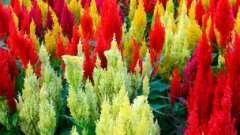 Однолетние цветы, цветущие все лето на участке