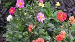 Однолетние георгины - выращивание из семян быстрым способом