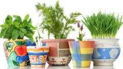 Огород на подоконнике. Что можно выращивать на подоконнике?