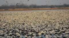 Охота на гусей становится популярнее