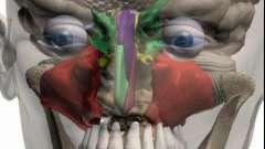 Околоносовые пазухи: анатомия, возможные патологии и заболевания