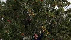 Окулировка плодовых деревьев. Советы садоводам