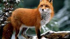 Описание лисы: внешний вид, питание, повадки