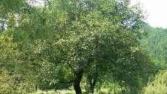 Ореховое дерево: особенности выращивания