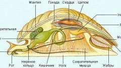 Органы выделения у моллюсков. Строение моллюсков