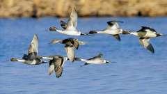 Осенняя охота на уток - когда птенцы уже окрепли