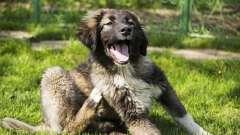 Ошейник от блох и клещей для собак: отзывы