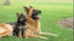 Овчарки немецкие: сколько живут собаки этой породы? Факторы, влияющие на продолжительность жизни немецких овчарок