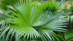 Пальмы веерные: уход в домашних условиях, фото
