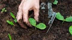 Патиссон – выращивание и сорта